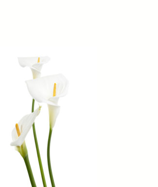 A portrait of calla lily flower standing on a white background
