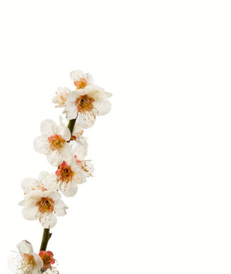 Beautiful flowering Japanese cherry - Sakura. Background with flowers on a spring day